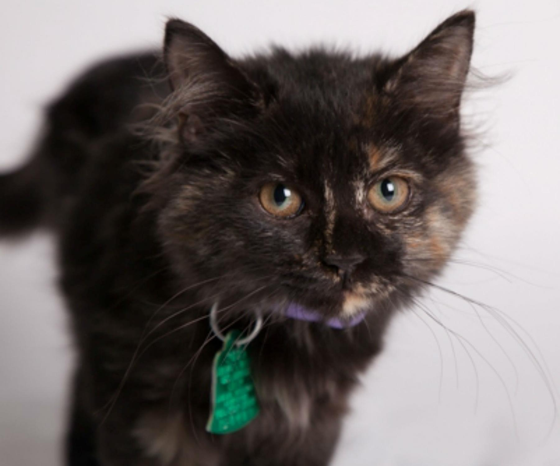 A cat with an identification tag on its collar at OKC Animal Welfare